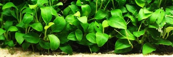 Anubias Nana, a Midground Plant for Freshwater Aquariums