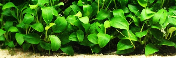 aquarium plants with names