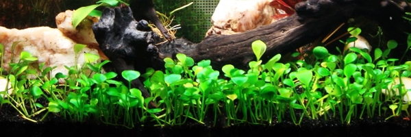 Marsilea Minuta, a Carpeting Plant for Freshwater Aquariums