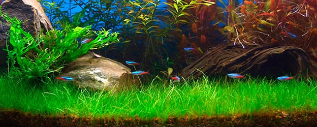 Dwarf Hairgrass Carpeting Plant