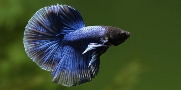 Low Maintenance Fish Betta