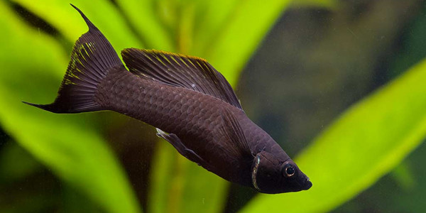 Low maintenance fish for beginners the aquarium guide for Black molly fish