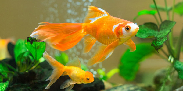 Low Maintenance Fish Goldfish