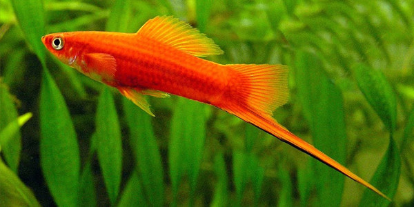 Low Maintenance Fish Swordtail