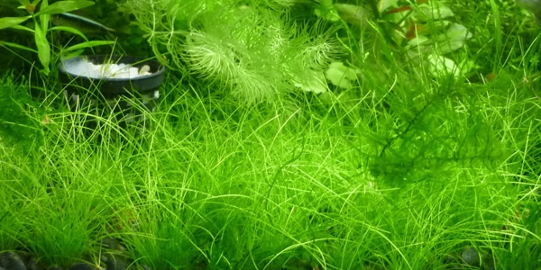 Dwarf hairgrass carpet