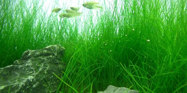 Proper Way To Grow Dwarf Hair Grass The Aquarium Guide