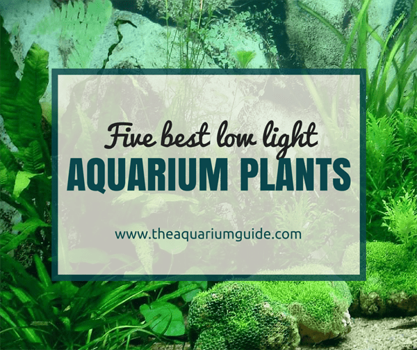 5 Low Light Aquarium Plants