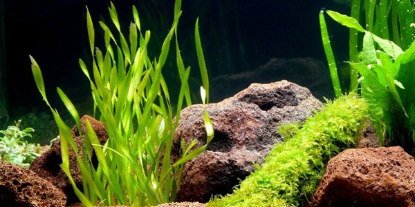 Low Light Aquarium Plants - Vallisneria