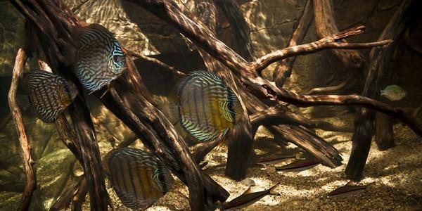 Blackwater Aquarium with Discus