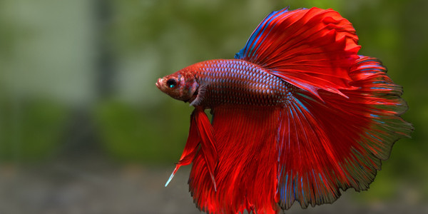 Colourful Freshwater Fish - Betta Fish