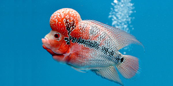 Colourful Freshwater Fish - Flowerhorn Cichlid