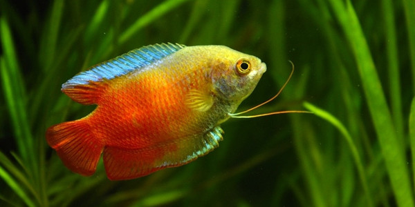 Colourful Freshwater Fish - Gourami