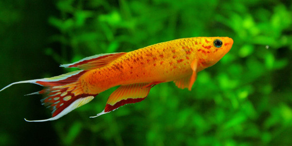 Colourful Freshwater Fish - Killifish