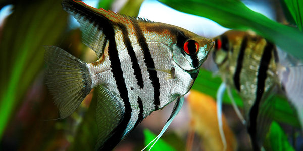 Freshwater angelfish - zebra angelfish