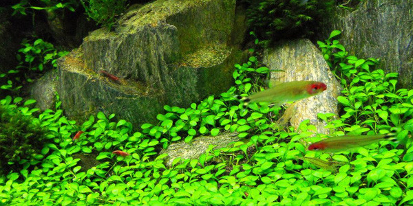 Iwagumi Aquascape Plants and Fishes