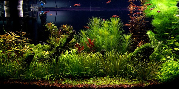 dutch style aquascape