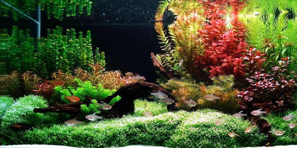 As the oldest aquascaping style, the Dutch style focuses primarily on ...