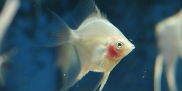 freshwater angelfish - blushing angelfish