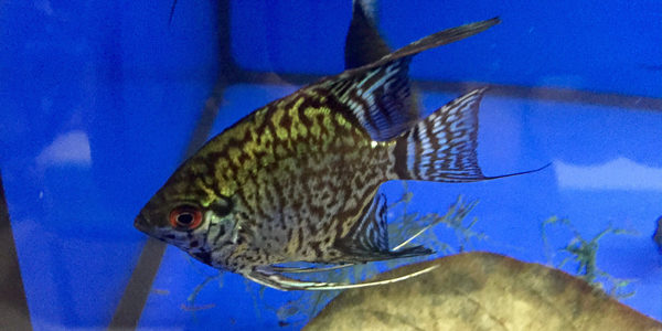 freshwater angelfish - leopard angelfish