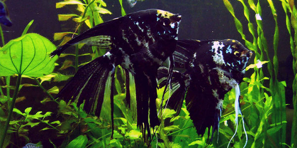 freshwater angelfish - marbled angelfish