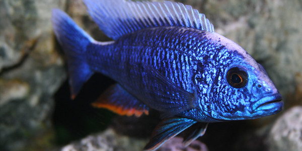 Aggressive Freshwater Fish - Blue Peacock Cichlid