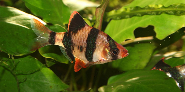 Aggressive Freshwater Fish - Tiger Barb