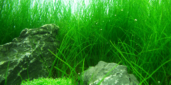 Dwarf Hairgrass