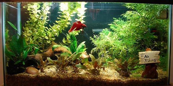 betta aquarium