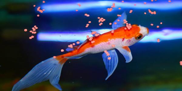 Fish feeding schedule the aquarium guide for Fish feeding chart