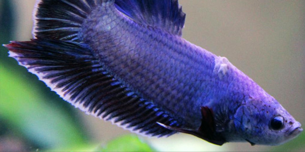 Betta Fish Diseases - ICK