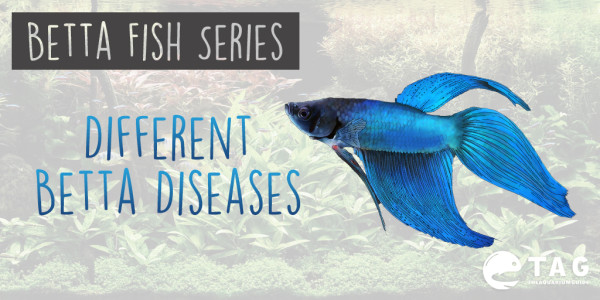 Betta Fish Series - Different Betta Diseases