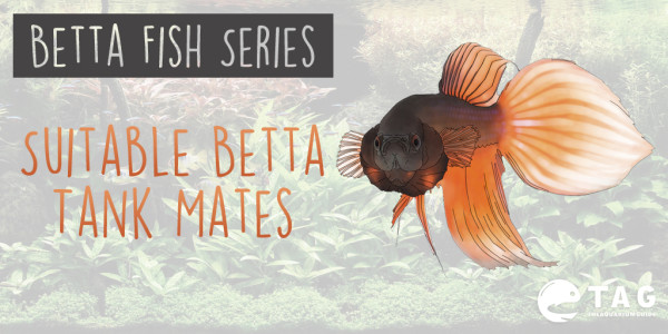 Betta Fish Series - Suitable Betta Tank Mates