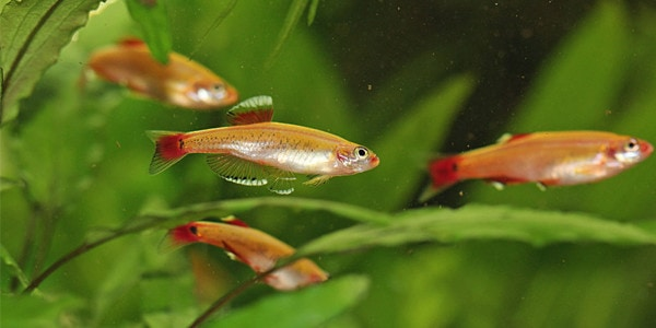 Easy schooling fish the aquarium guide for Tank mates for betta fish