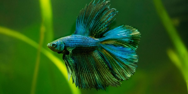 Betta fish series types of betta fish the aquarium guide for List of fish that can live with bettas
