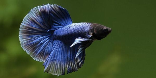 Resultado de imagen de betta fish