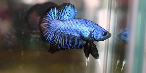 Betta fish Plakat
