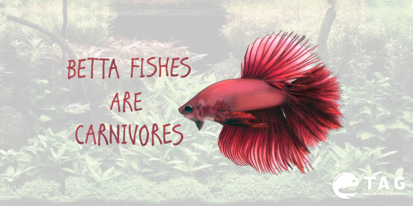 Betta fish series betta fish food guide for Can you put betta fish with other fish