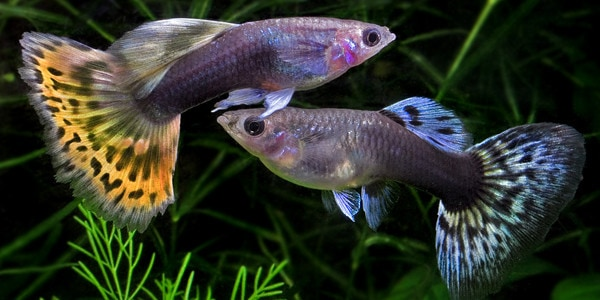 Guppies breeding