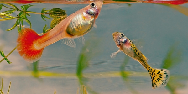 How to Care for Guppies | The Aquarium Guide