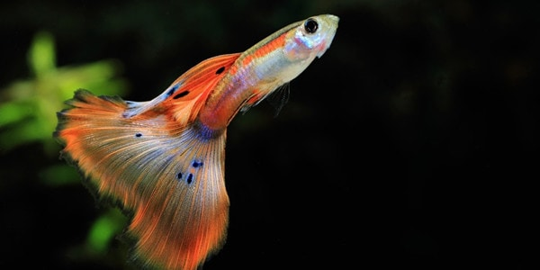Image result for guppies fish