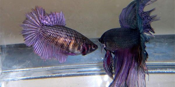 breeding betta fish - breeding process