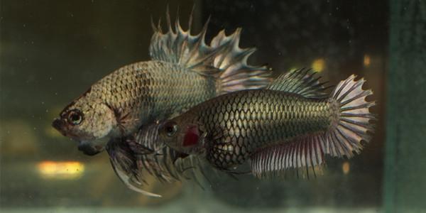 breeding betta fish - choosing your pair