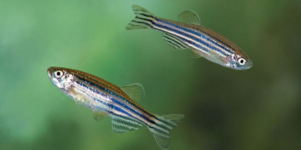 Easy schooling fish the aquarium guide for Freshwater schooling fish