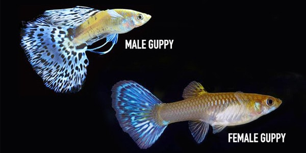 male and female guppies