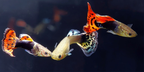 male guppies
