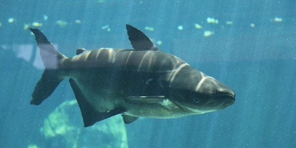 freshwater sharks�are they real sharks the aquarium guide