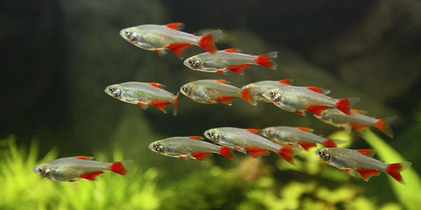 bloodfin tetra guide