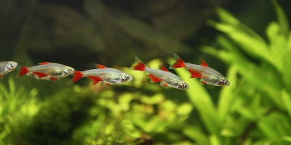 Best fish for a 10 gallon aquarium the aquarium guide for Tetra acquario