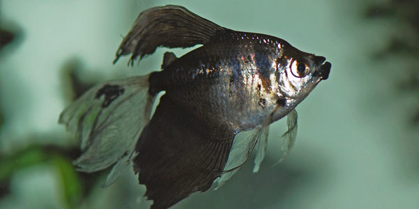 Black Skirt Tetra fish : Tank size suitable for black skirt tetras