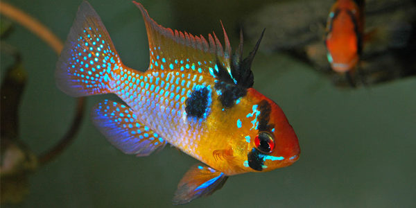 Blue Ram Cichlid Care Guide The Aquarium Guide